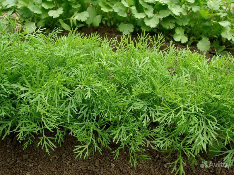 Зелень, которую можно посадить в сентябре!