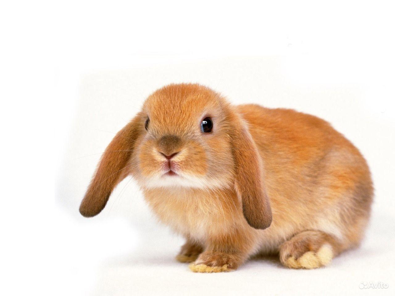 Карликовые декоративные кролики от заводчика в Москве - фотография № 5