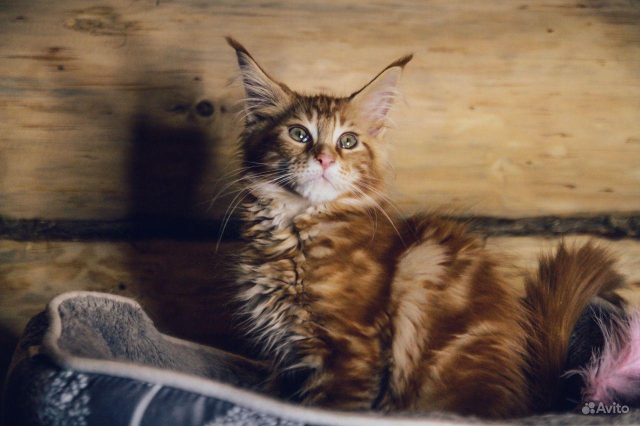 Мейн-кун котенок обаяшка в Москве - фотография № 1