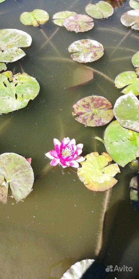 Растения для пруда купить на Зозу.ру - фотография № 8