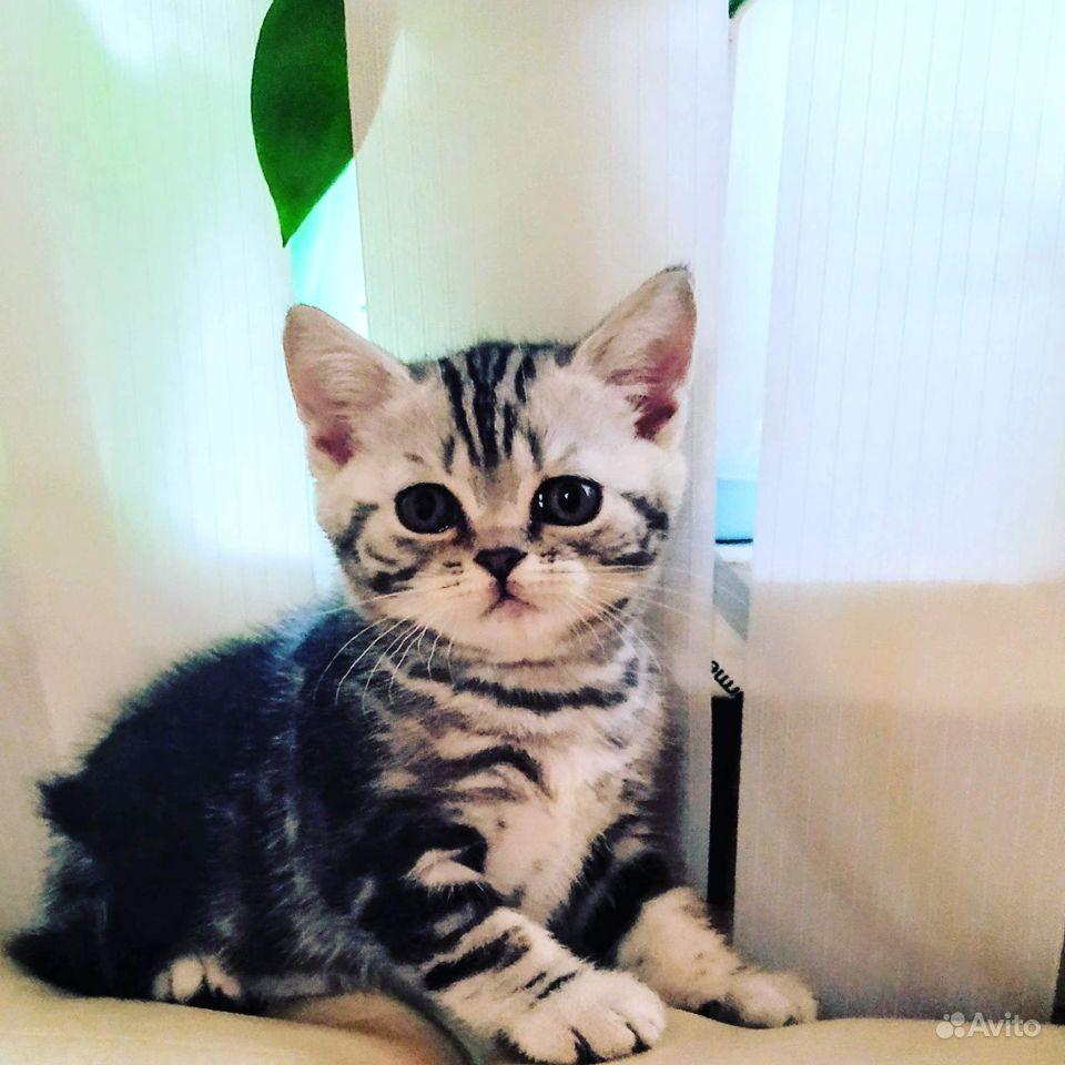 Котята британской породы