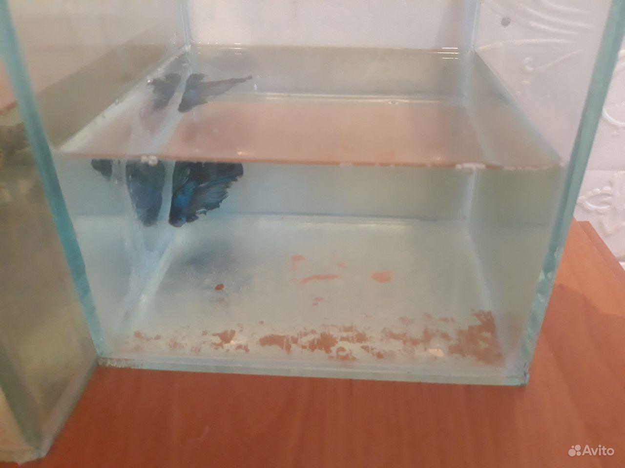 Рыбка голубой петушок