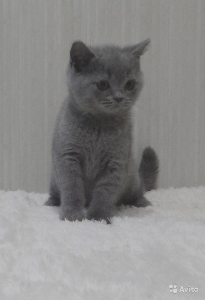 Британские котята в классических окрасах - фотография № 6