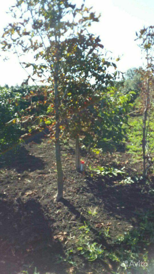 Саженцы фруктовых деревья, саженцы ивы пла кучей купить на Зозу.ру - фотография № 4