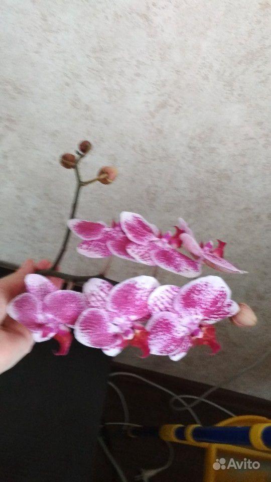 Орхидея фаленопсис и стеклянный горшок купить на Зозу.ру - фотография № 3