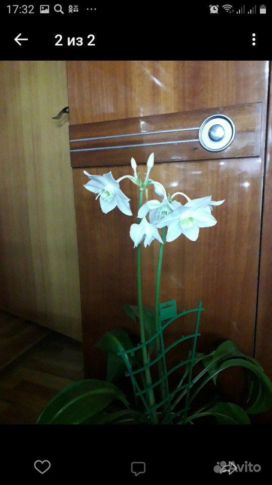 Комнатное растение.Эухарис (Амазонская лилия ) купить на Зозу.ру - фотография № 1