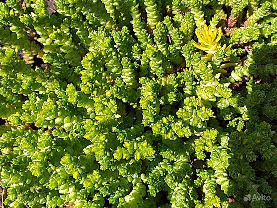 Почвопокровные растения купить на Зозу.ру - фотография № 5