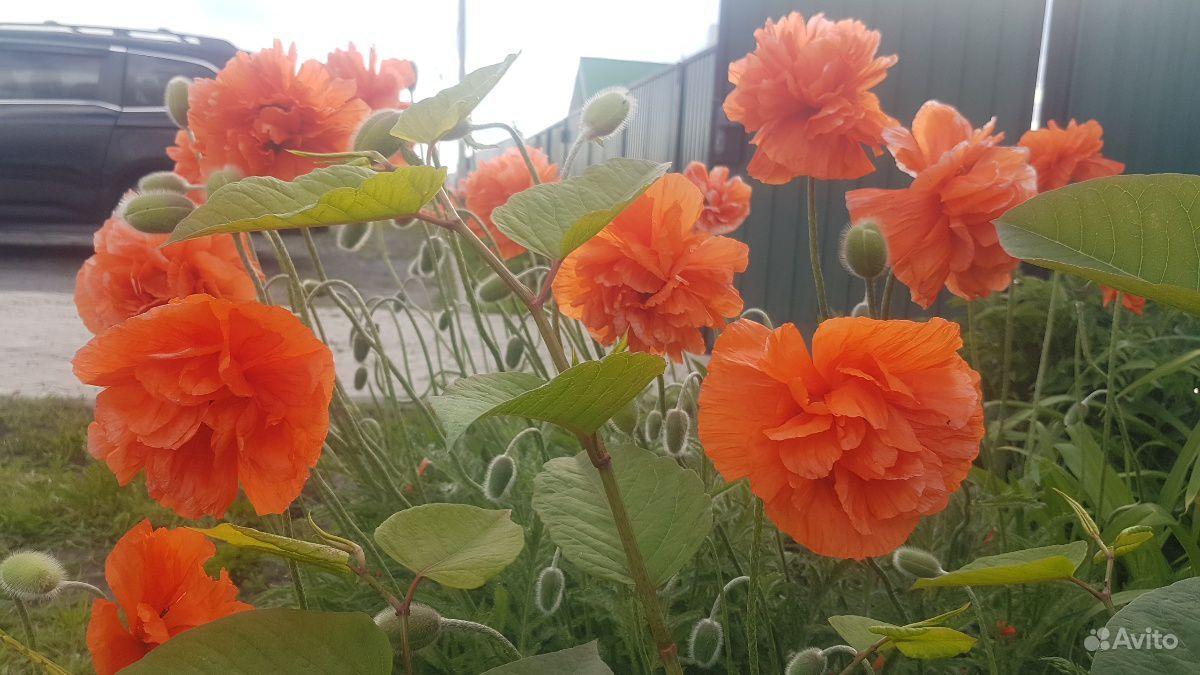 Мак восточный махровый оранжевый сортовой многолет купить на Зозу.ру - фотография № 2