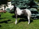 Американская миниатюрная лошадь меньше пони