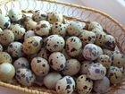 Инкубационное яйцо: фазанов перепелов