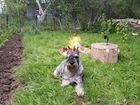 Отдам собаку - кобель миттельшнауцер