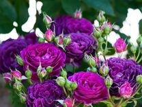 Продам розы шраб /флорибунда Эбб Тайд — Растения в Рязани
