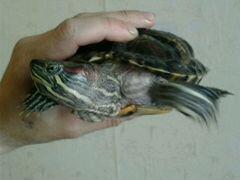 Четыре красноухие черепахи