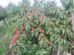 Саженцы морозостойкого персика