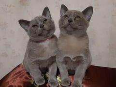 Бурманские голубые девочки