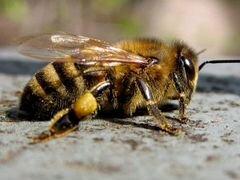 Пчелосемьи с ульями