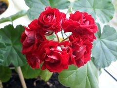 Герань розовидная цветущая, молодой отросток