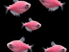 Тернеции глофиш розовые