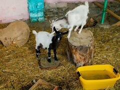 Продаются козы, бараны и еноты