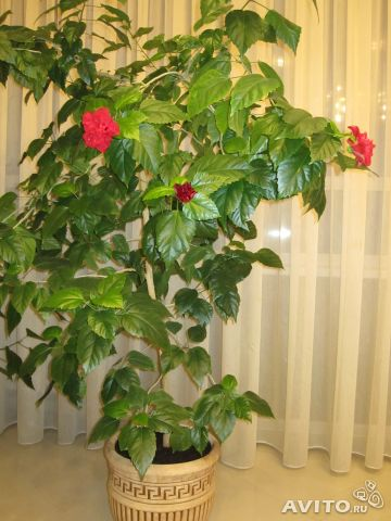 Дерево домашняя роза