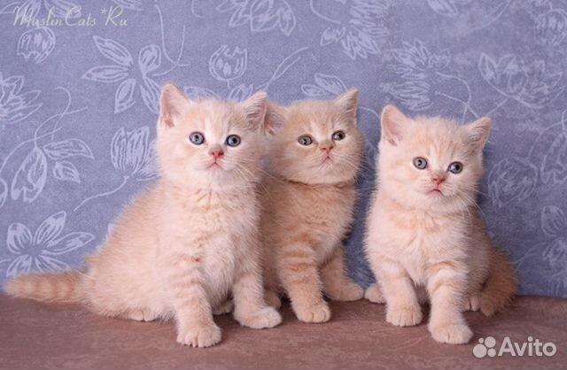 фото британских котят кремовые