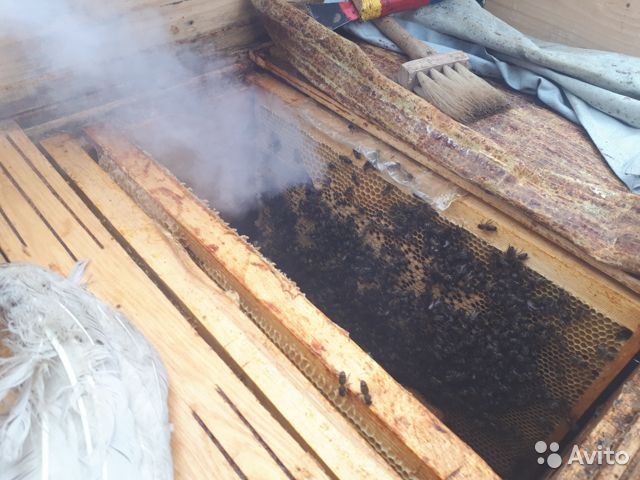 Пчелы, пчелосемьи