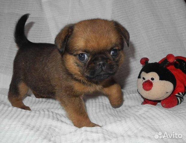 Чудесные щенки пти-брабансон ждут Вас купить на Зозу.ру - фотография № 6