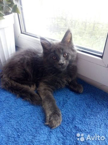 Мейн Кун котята 89170638951 купить 4