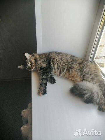 Кошка Мэйн-Кун  89102094513 купить 7