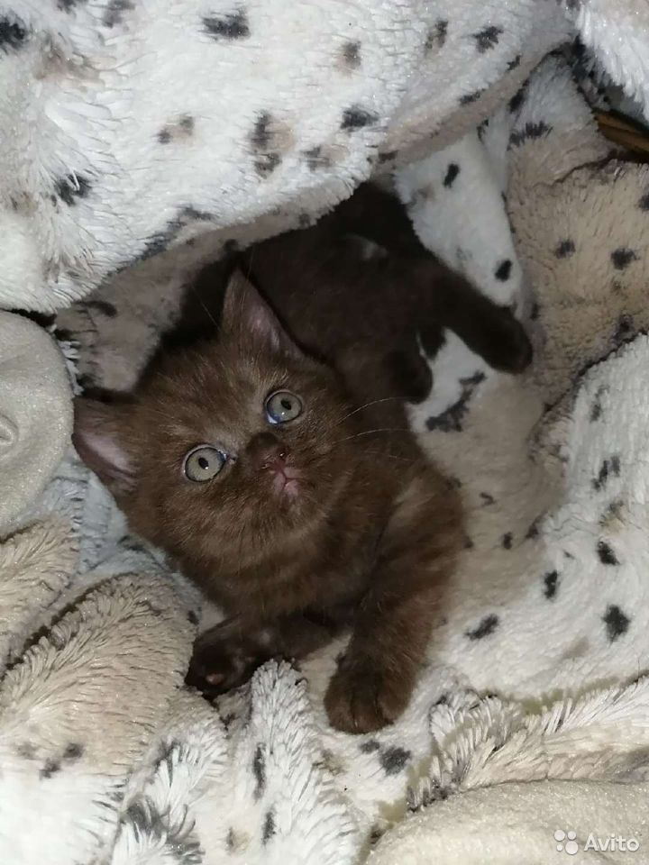 Шотландские котята  89525321477 купить 1