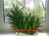 Цветок Хавортия