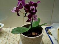 Орхидея мини фаленопсис