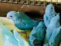 Попугаи ожереловые синие птенцы — Птицы в Москве