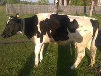 Доеная корова