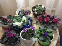 Фиалки разноцветные — Растения в Москве