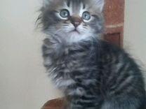 Сибирские котята традиционного окраса