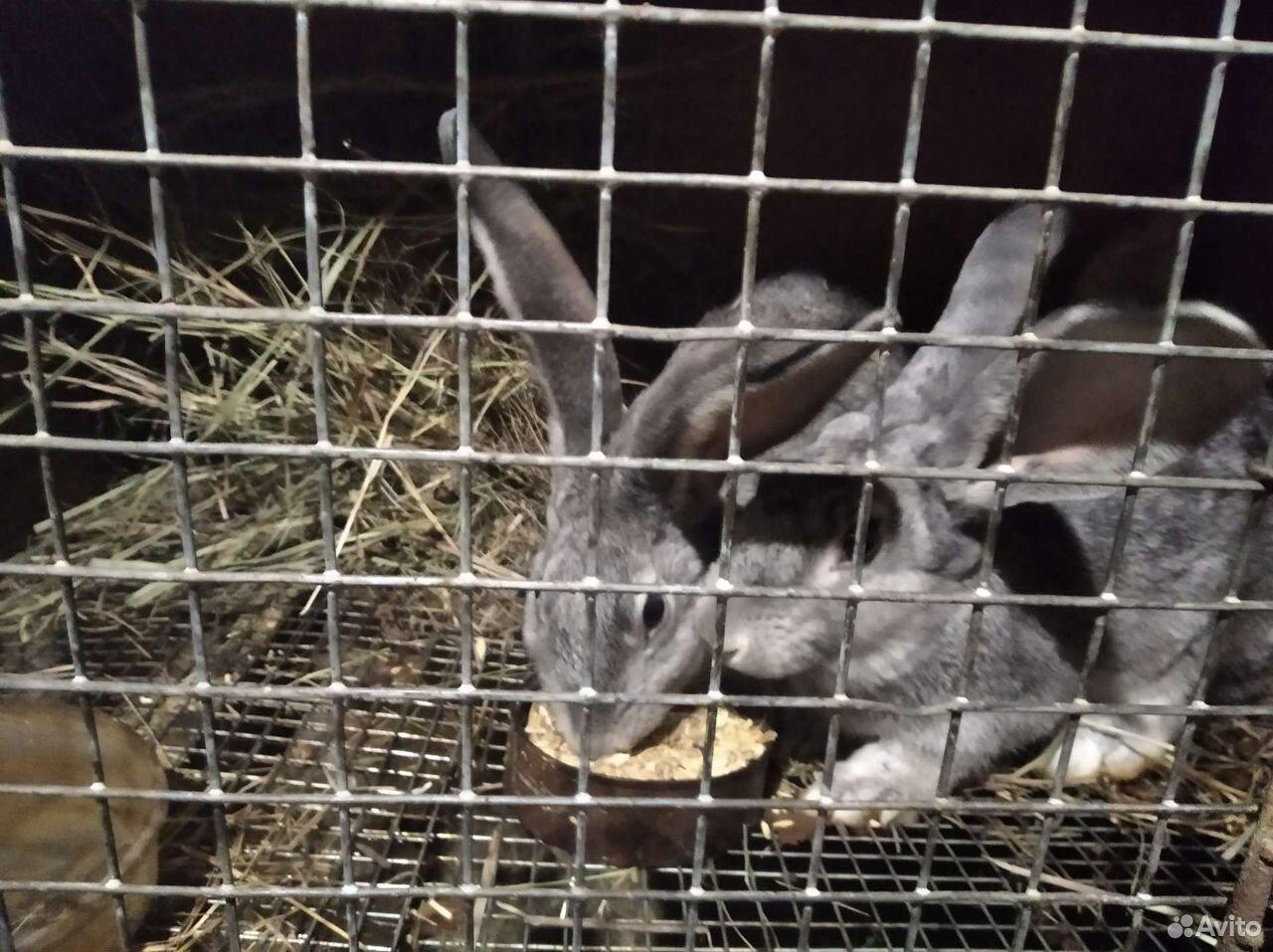 Кролики  89198032738 купить 3