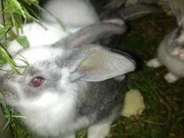 Продам Крольчат- (ризен)