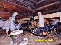 Инкубационное яйцо и Павловские петухи