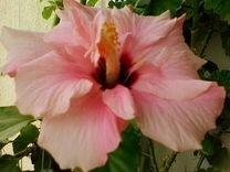 Цветок взрослый розовый гибискус